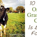 grass fed dairy cow