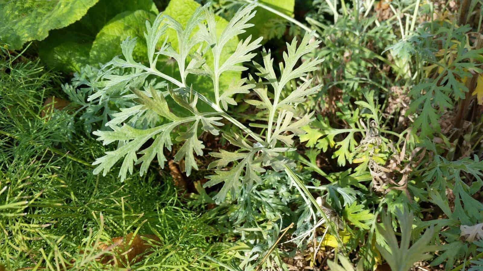 artemisia-wormwood