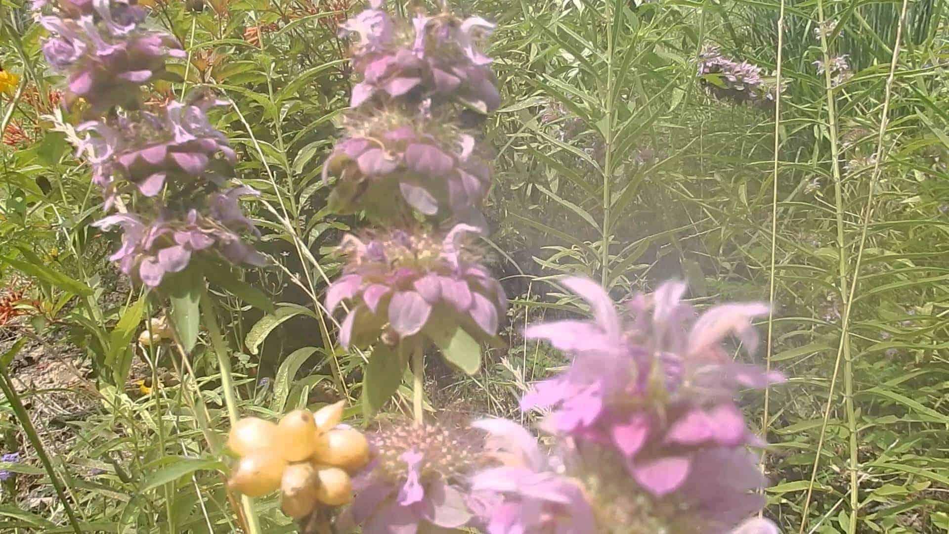 Bergamont Bee Balm Herb