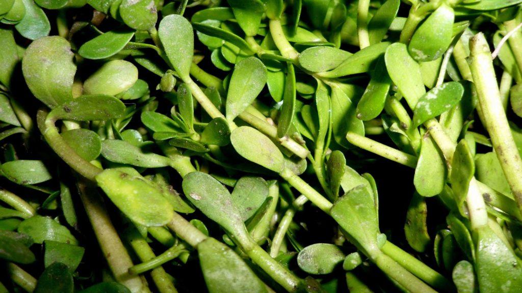 brahmi herb