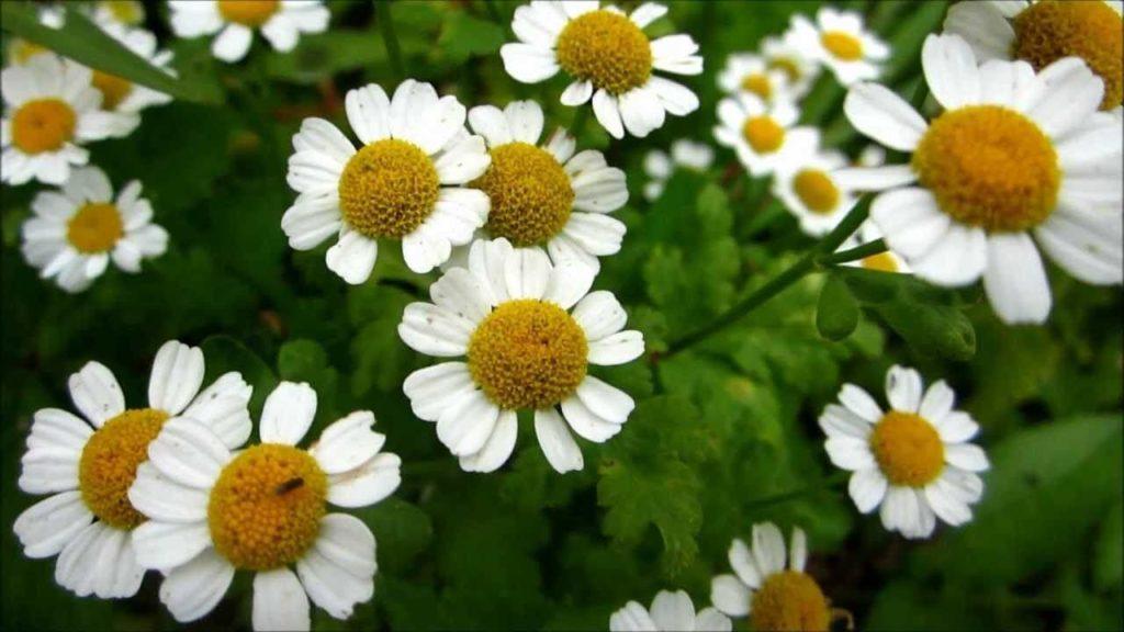 feverfew, medicinal herbs