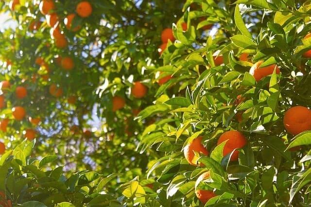 orange-tree Organic food