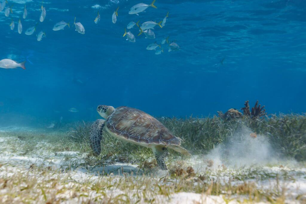 green turtle swimming_compassion for animals