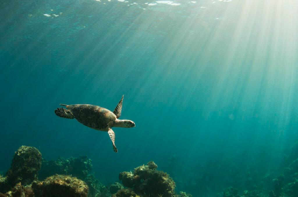 Hawksbill sea turtle_compassion for animals