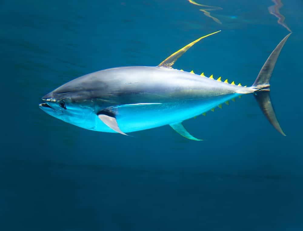 how do I find safe tuna?