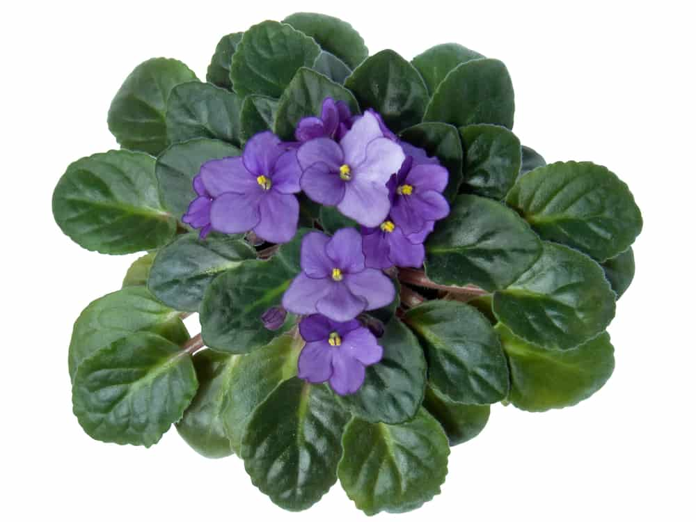 colorful indoor flowering plants