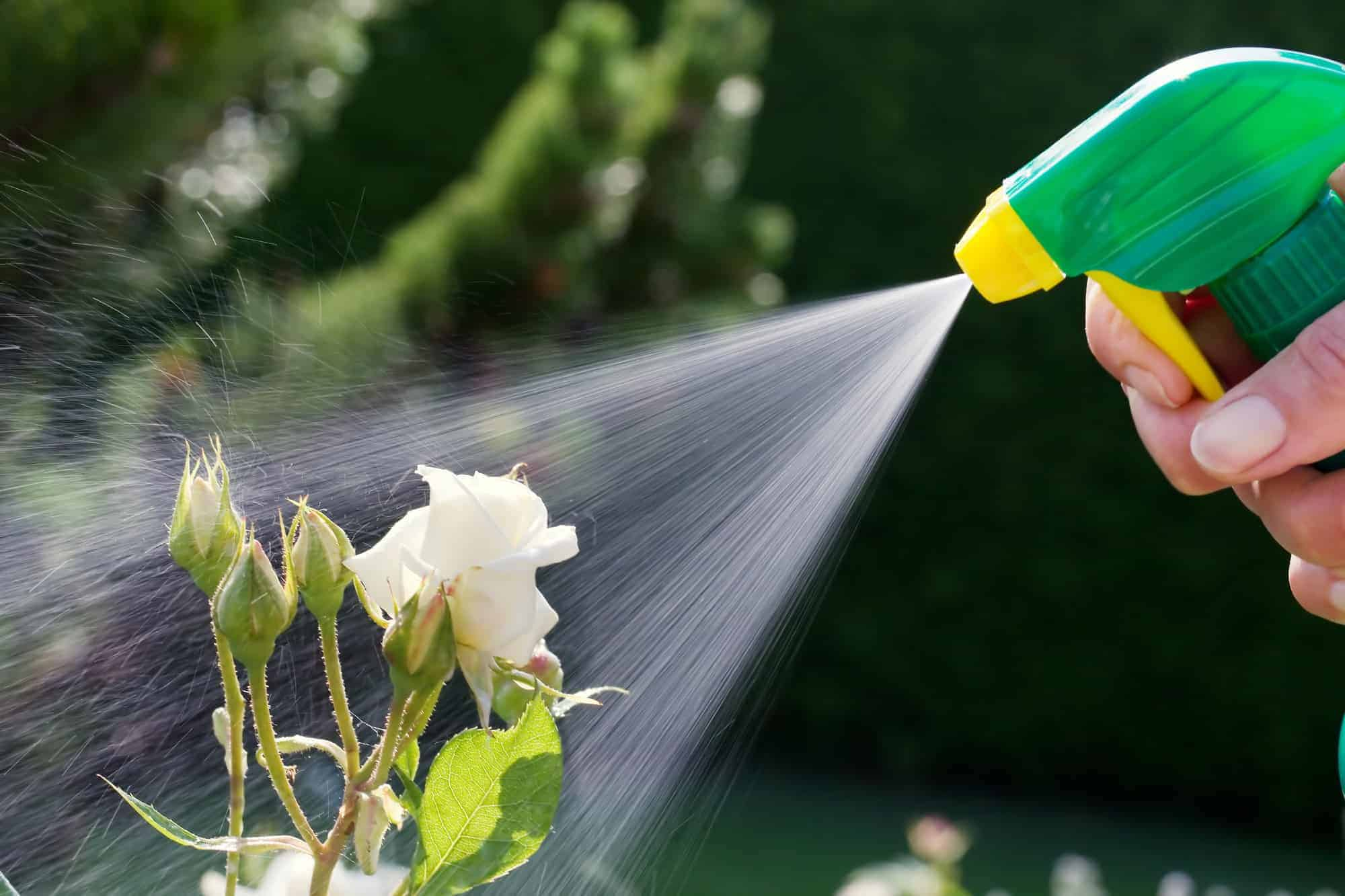 roses in a garden are sprayed with a pesticide