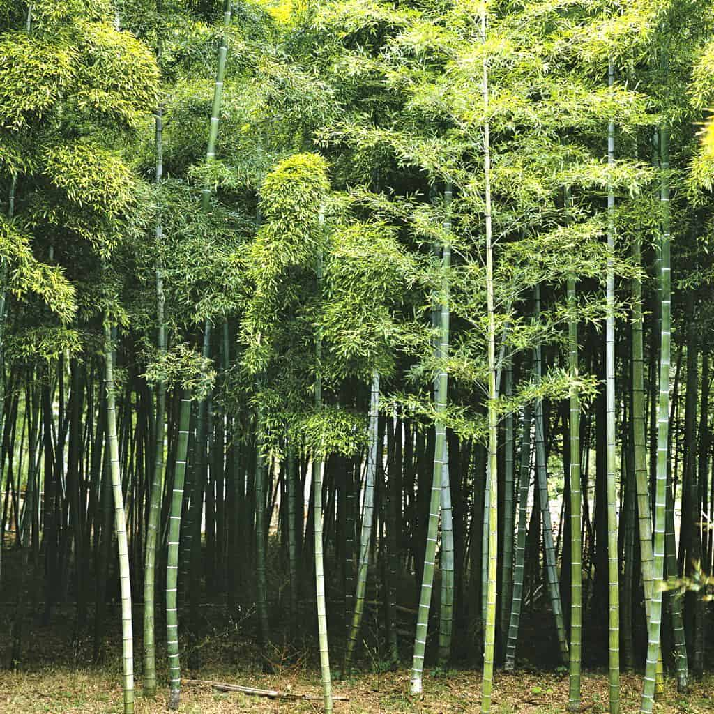 Bamboo Trees Growing in Forest