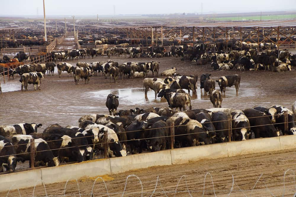 IBlack and white cows crowded in a muddy feedlot,Central valley, California