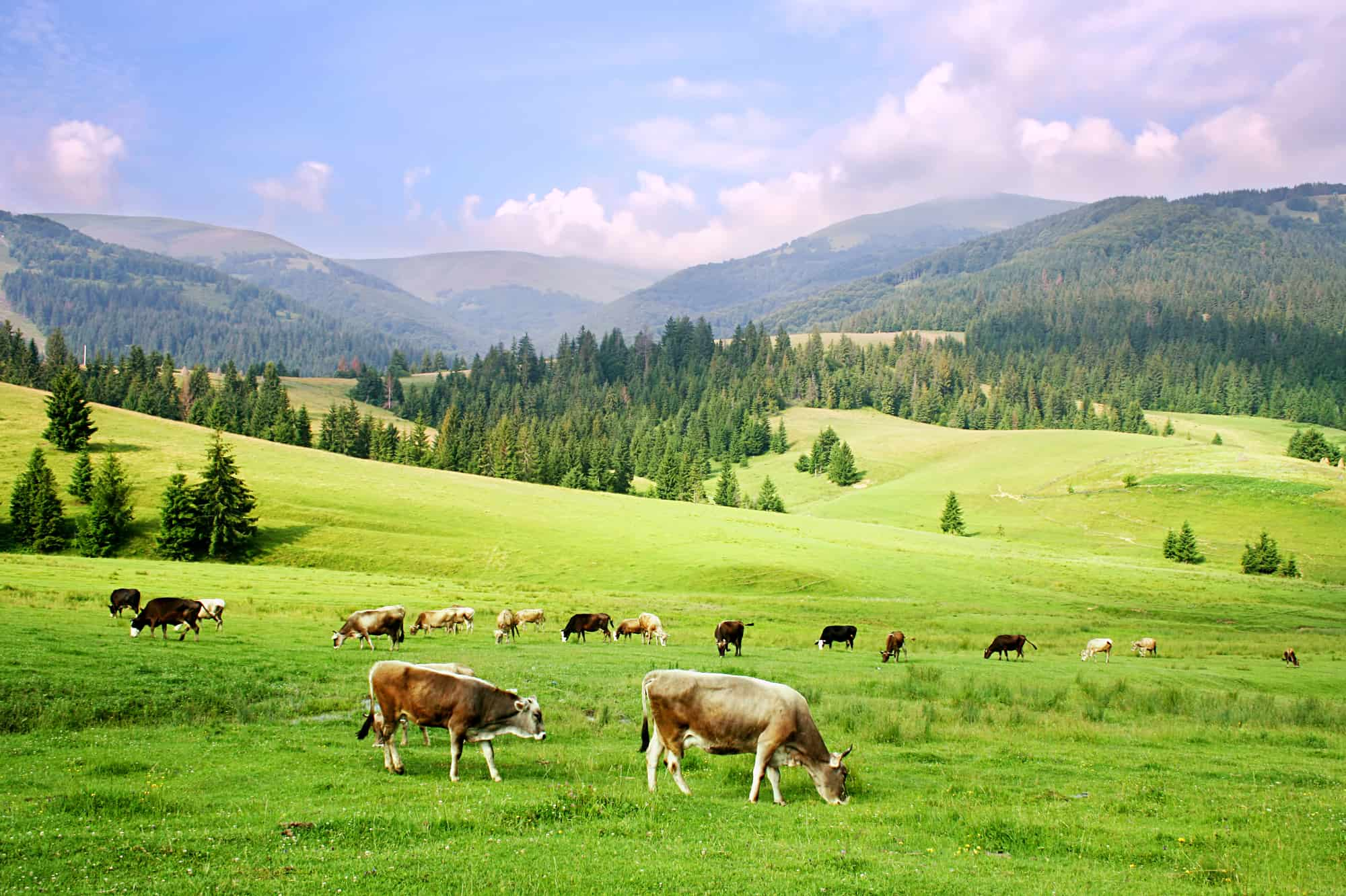 herd of cows in the carpathian mountains