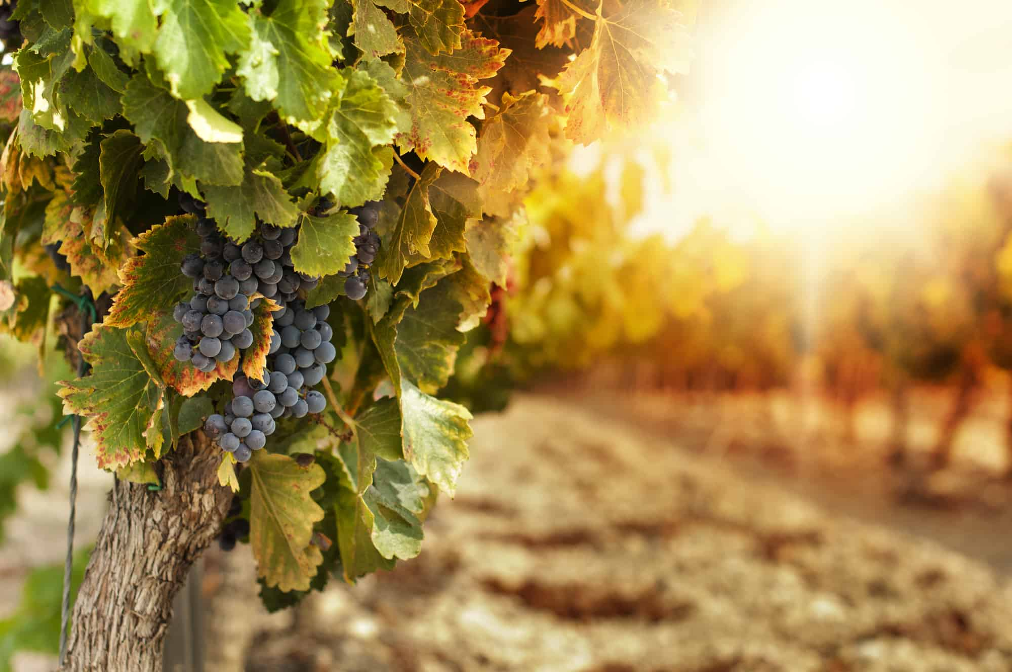 Vineyards at sunset in autumn harvest of grapes