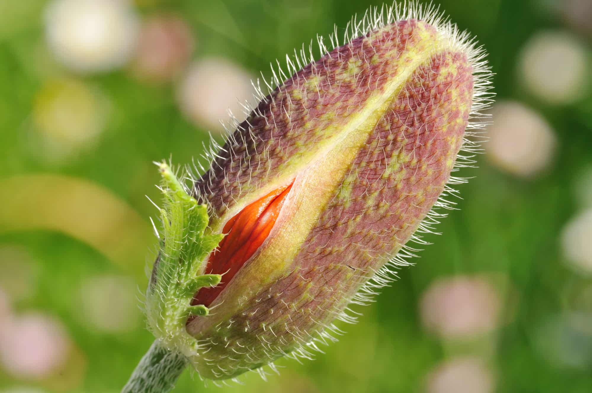 Macro shot of poppy flower head opening, focus is on red area similar to female vagina