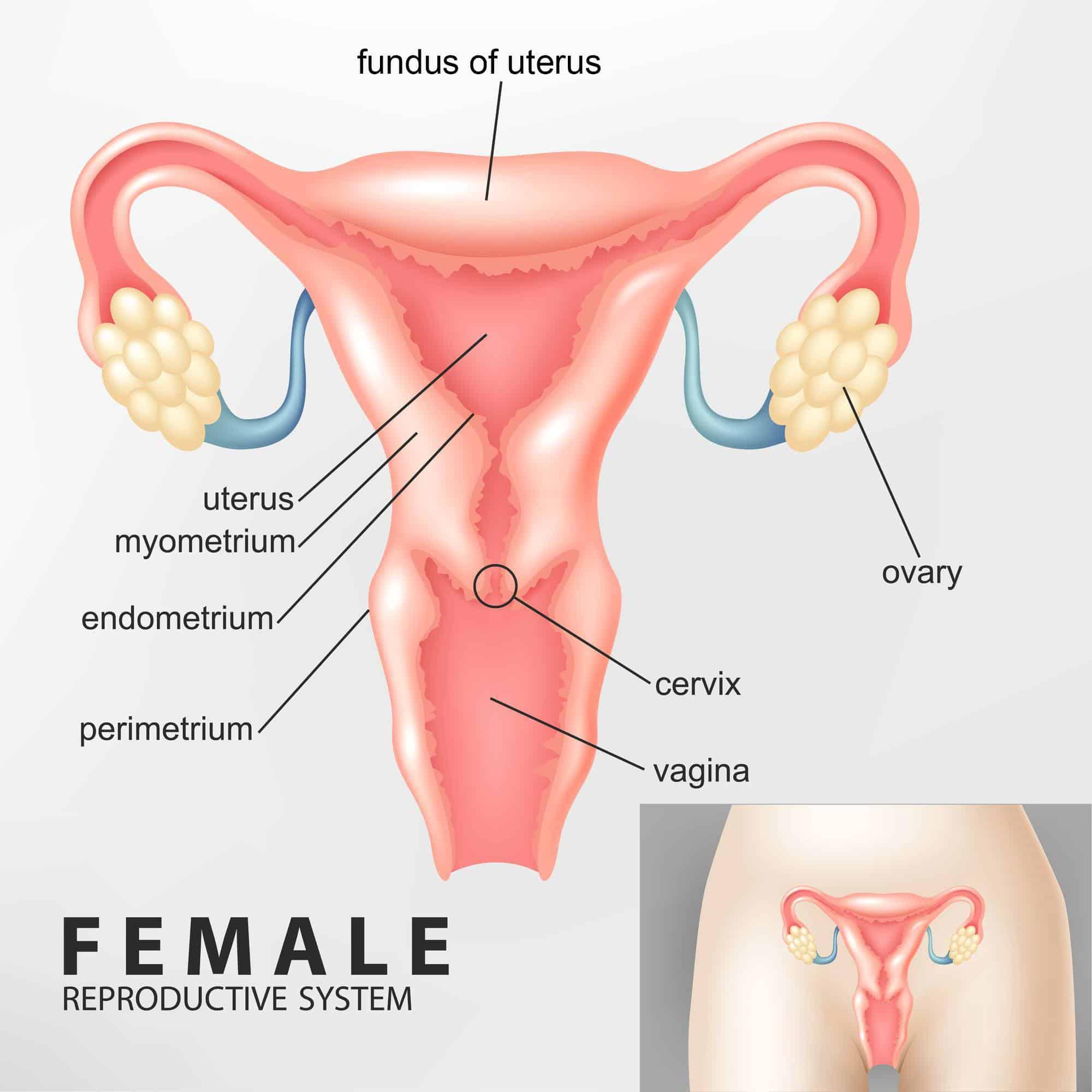 diagram of the female uterus and fundus of uterus