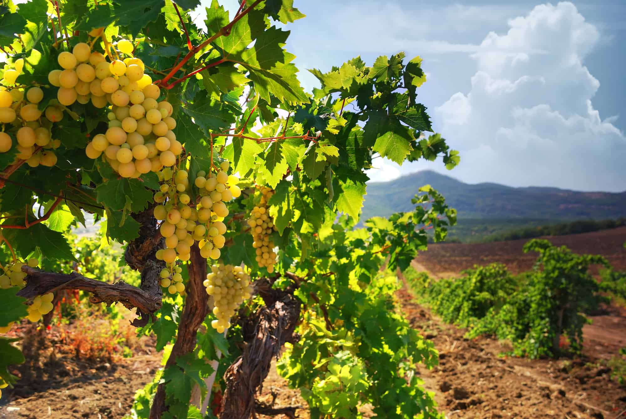 biodynamic Vineyard in napa valley