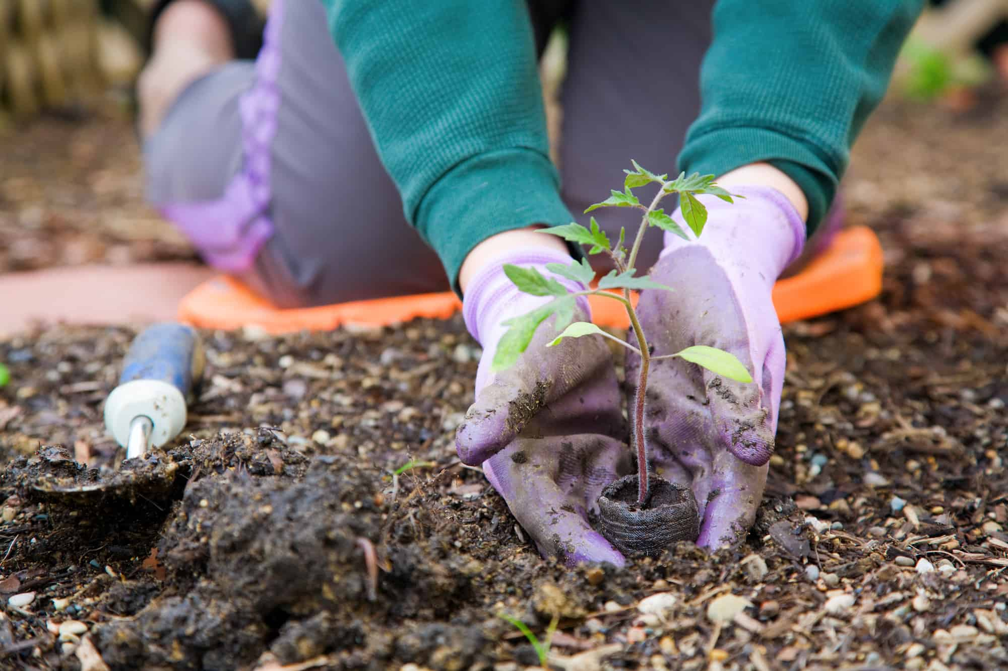 Closeup image of woman & hands in gardening gloves planting tomato
