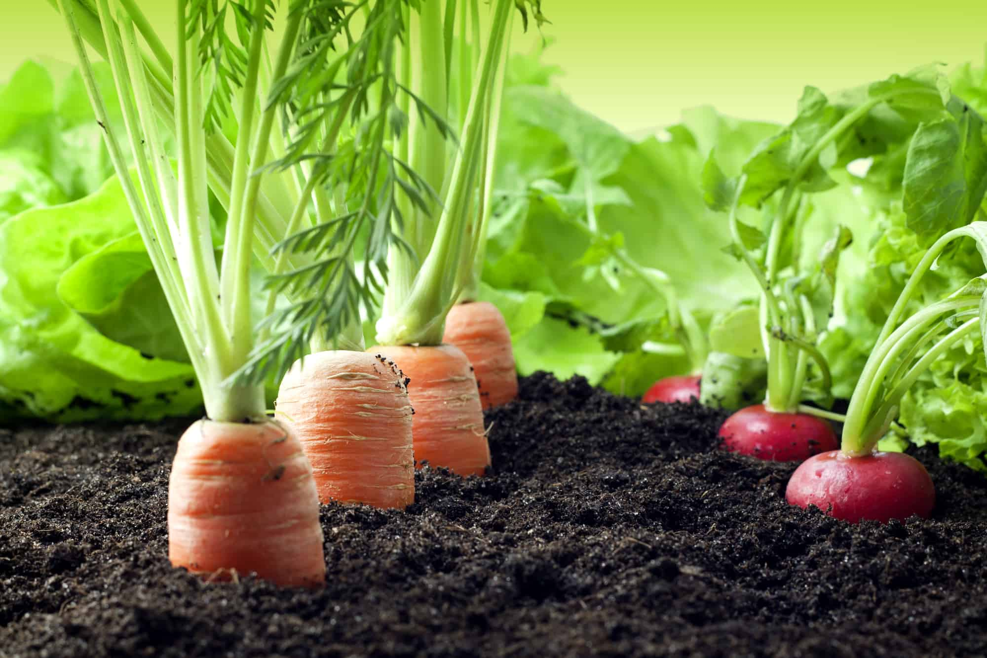 carrots & radishes in the soil