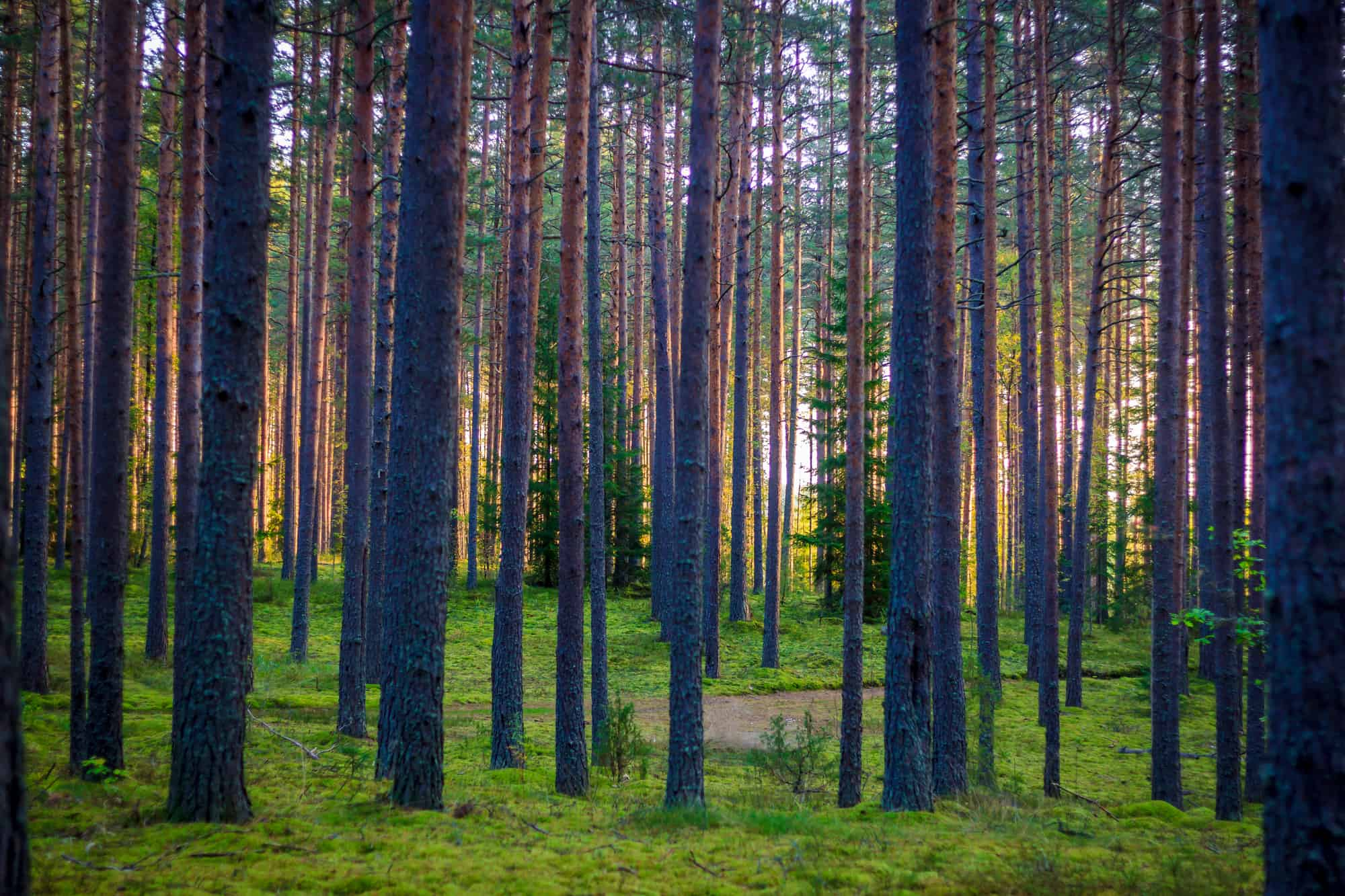 boreal forest at dawn