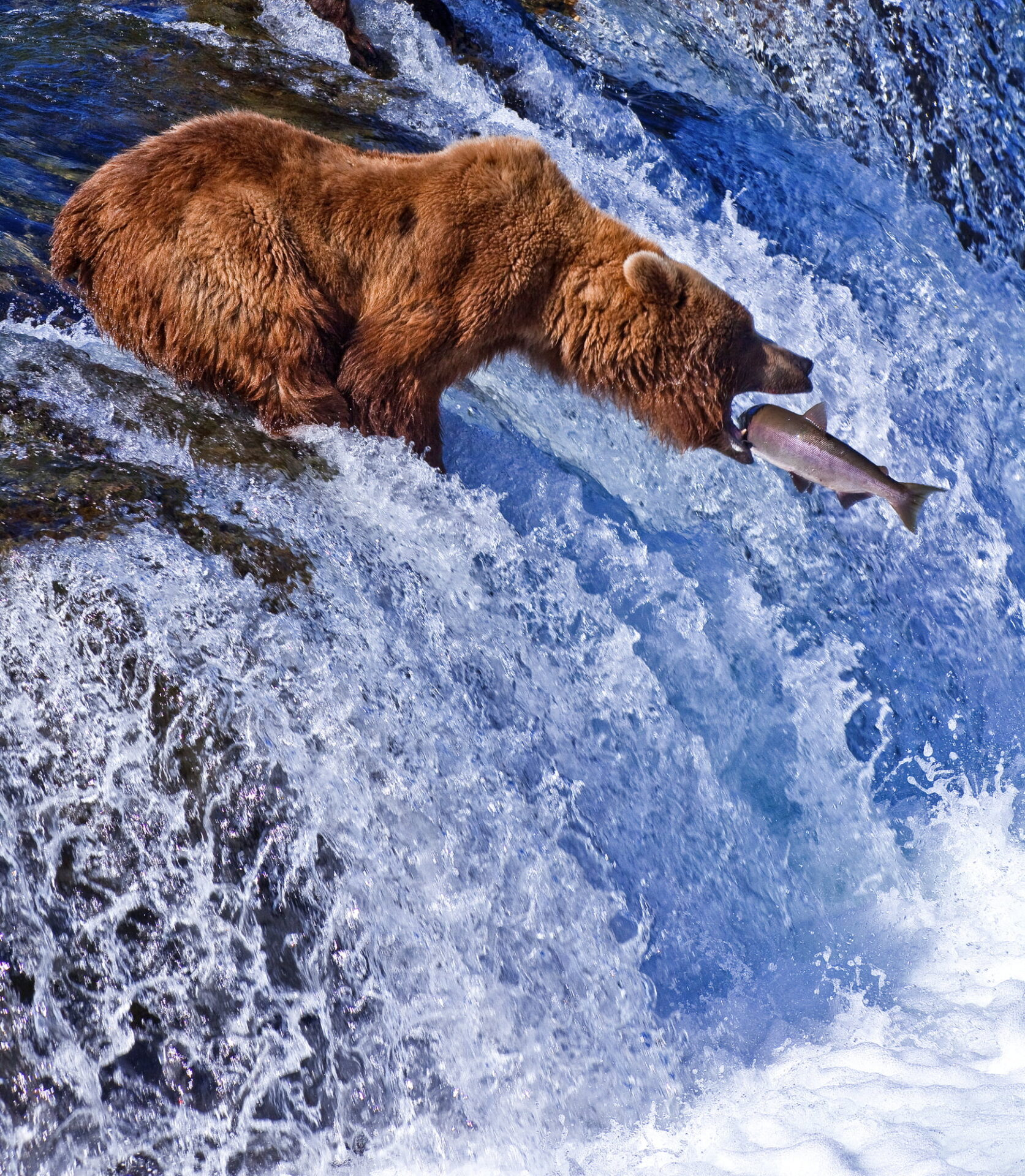 alaskan grizzly bear eats wild salmon as it swims upstream