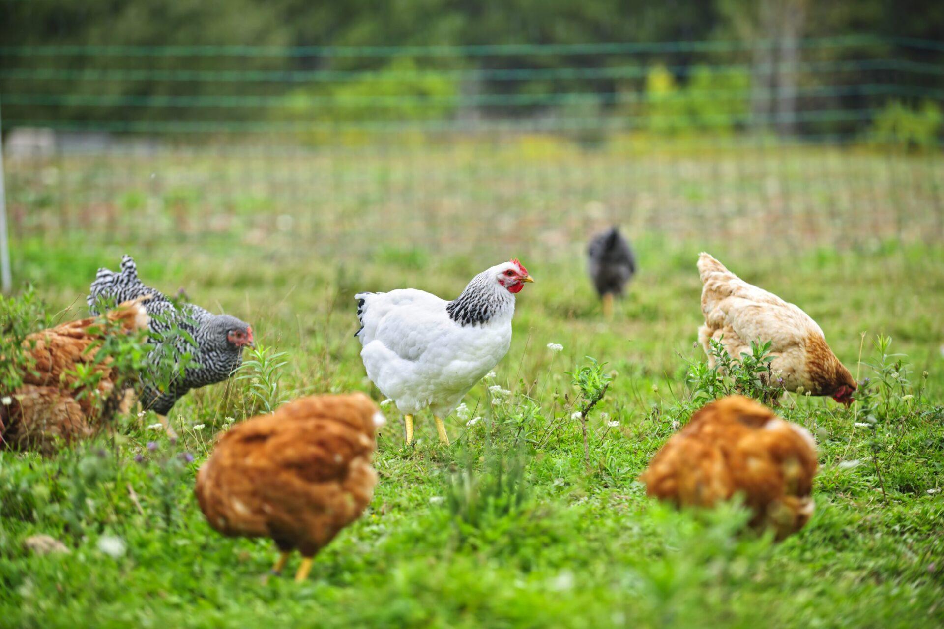 Various free range chickens feeding on grass at organic farm