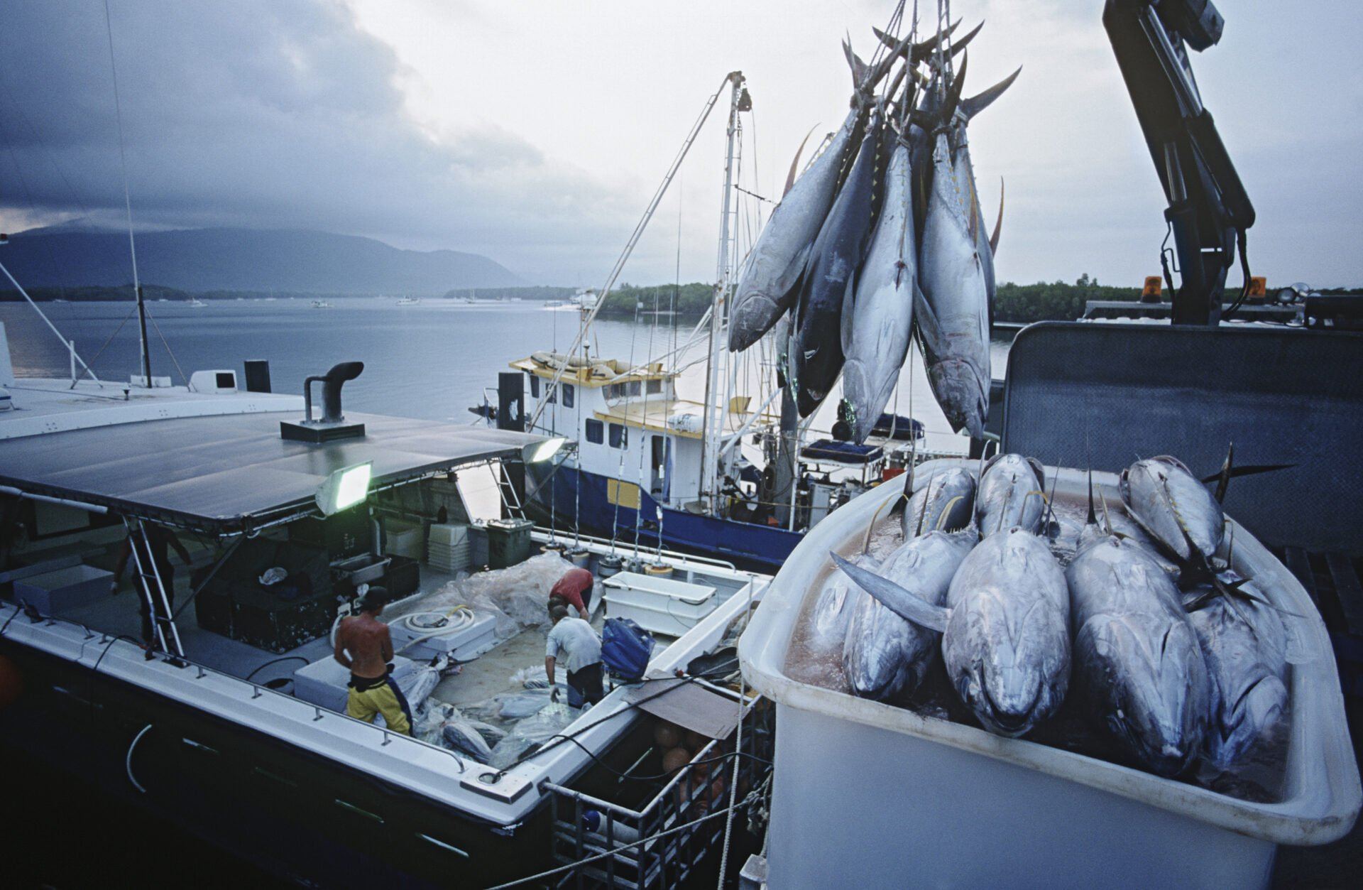 Tuna fish in container on fishing boat